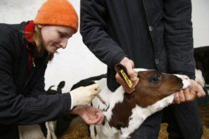 Карантин по бешенству коров в Среднем Бугалыше